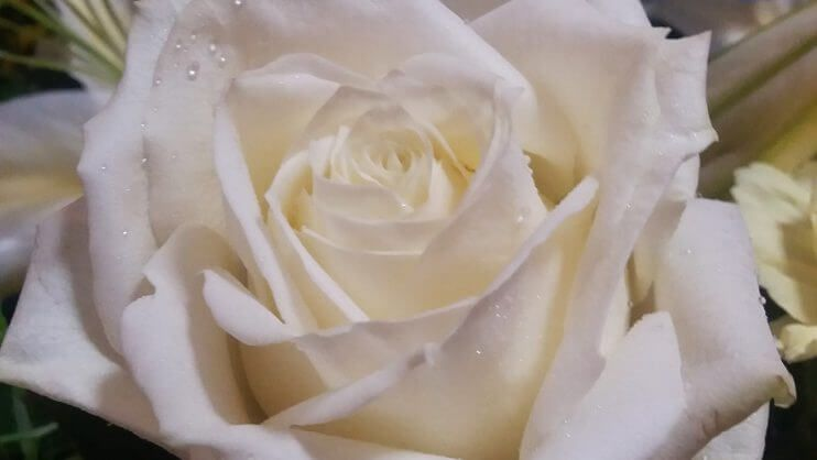 White rose of Yorkshire in a funeral bouquet