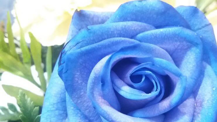 Blue rose at a funeral